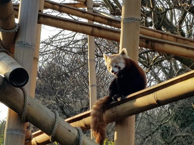 Panda roux - © Thia